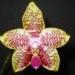 phalaenopsis00