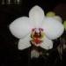 phalaenopsis02